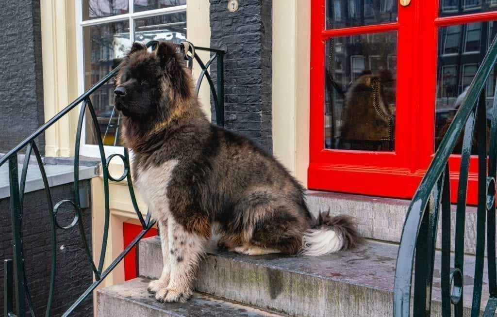 large fluffy dog sitting on a stoop in front of a red front door in amsterdam netherlands december