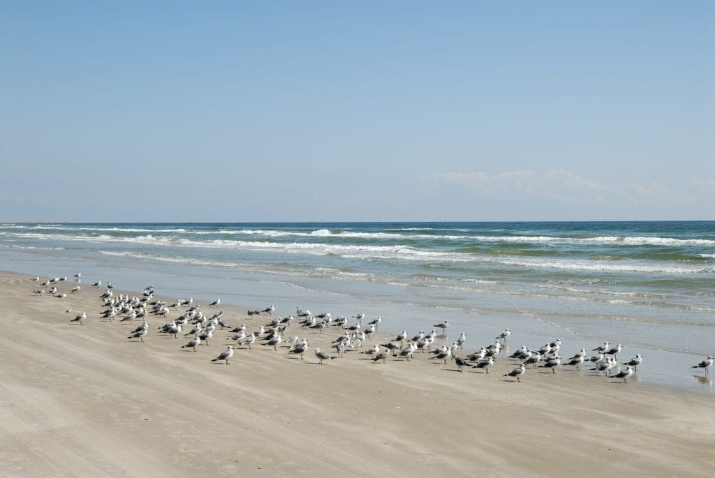 Beach in Galveston Texas with a flock of seagulls on it