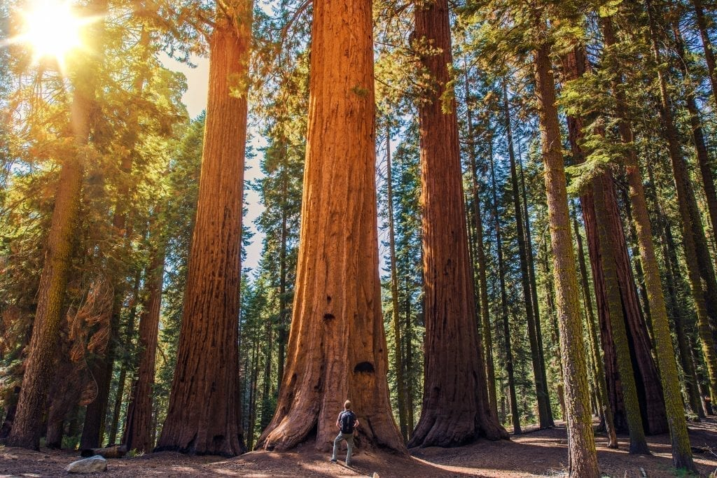 Man standing in front of enormous Redwood trees with a sunflare in the top left corner of the photo