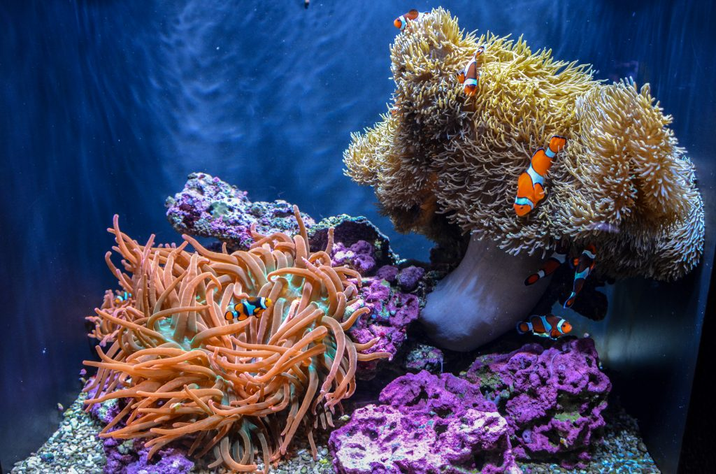 bright colored clown fish and coral at the seattle aquarium