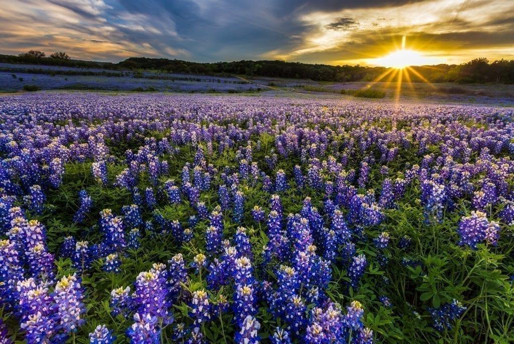 Bluebonnet field near Ennis Texas at sunset. In April, Ennis is one of the best weekend trips in Texas