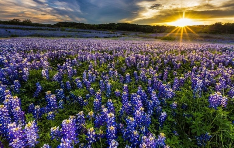 Bluebonnet field near Ennis Texas at sunset. In April, Ennis is one of the best weekend trips in Texas