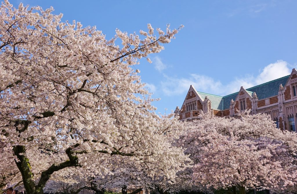 cherry blossoms blooming on university of washington campus