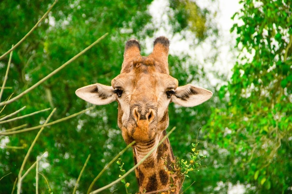 giraffe chewing cud in kruger national park south africa
