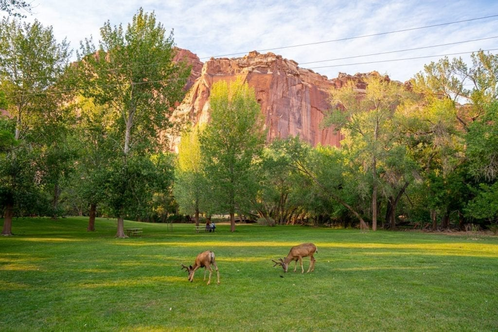 Deer grazing in a field in Capitol Reef National Park with a rock formation behind them