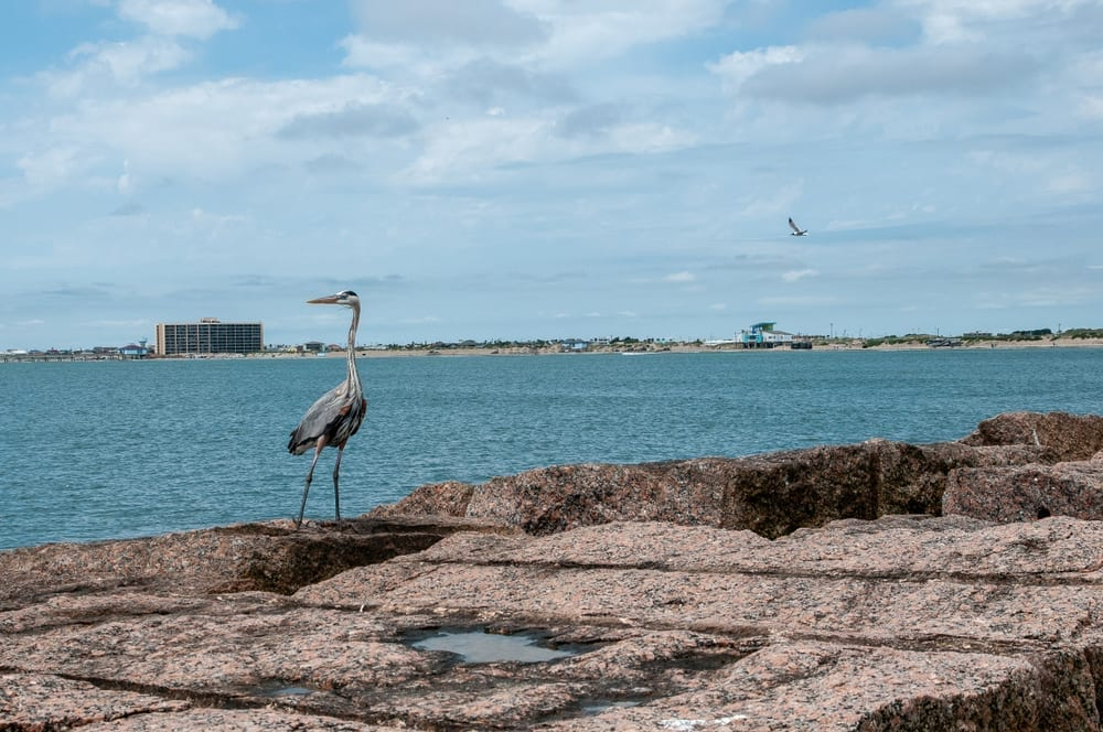 Mustang Island with a heron in the left foreground and the ocean in the background. Provided by Stephanie Craig.