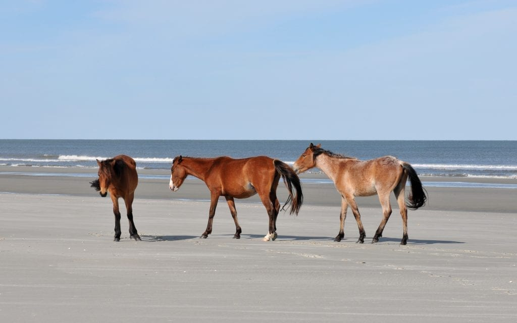 3 wild horses on a sandy beach on Cumberland Island Georgia, one of the prettiest USA beaches in the south