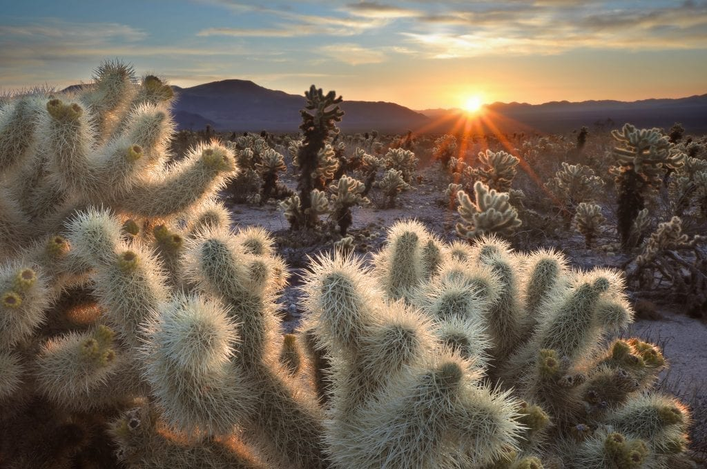 desert landscape at sunrise in joshua tree national park, an excellent part of several of the best west coast road trips usa
