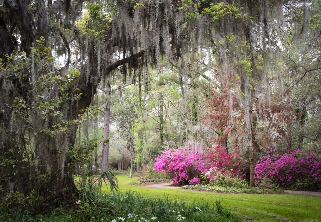 view of live oak trees and azaleas in the gardens on magnolia plantation near charleston