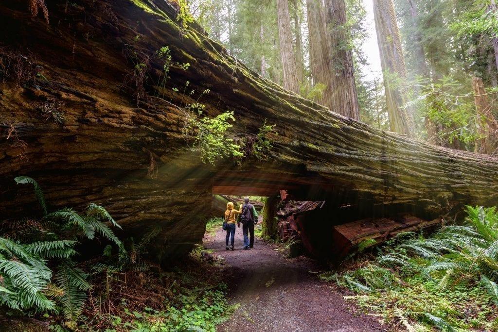 Two people walking through a doorway in a fallen redwood tree in california usa