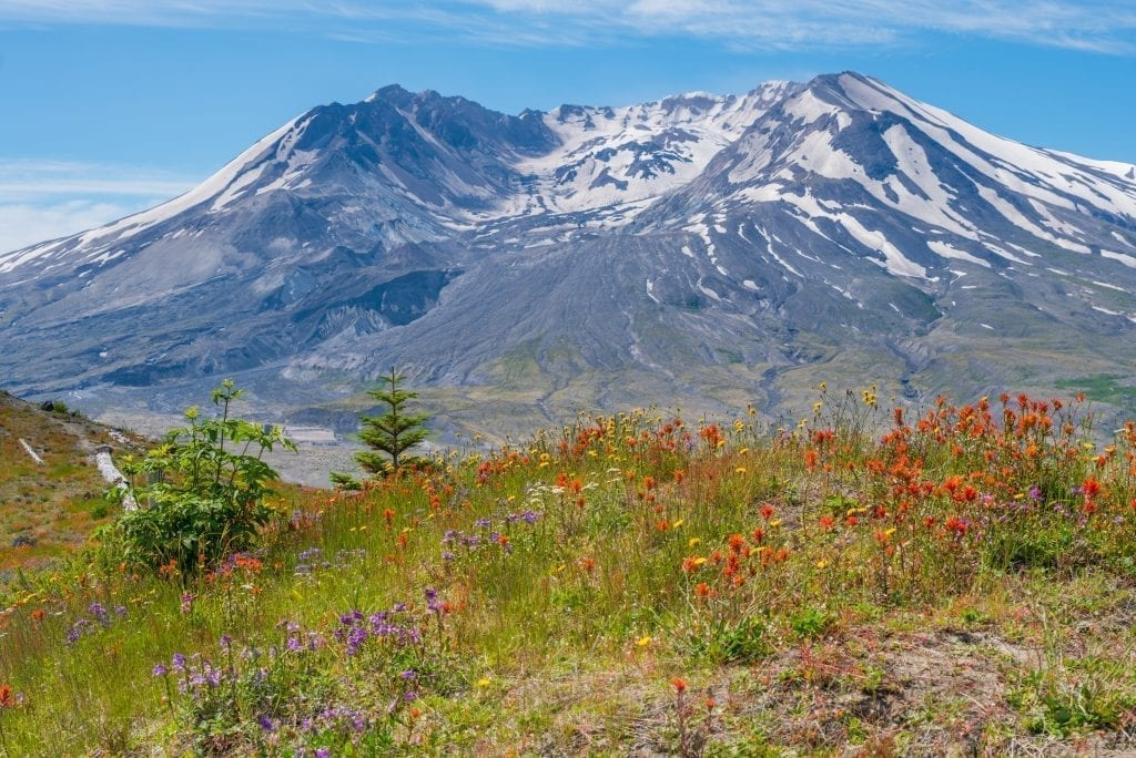 Snowcapped Mount St Helens with purple and red flowers in the foreground of the photo