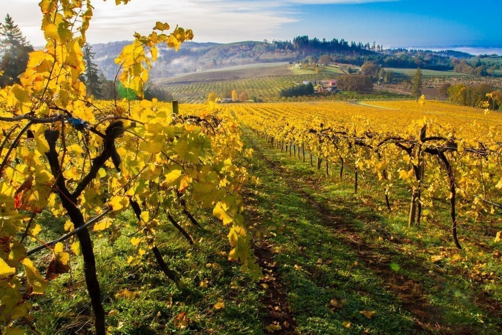 grape vines in willamette valley oregon in the fall with yellow leaves
