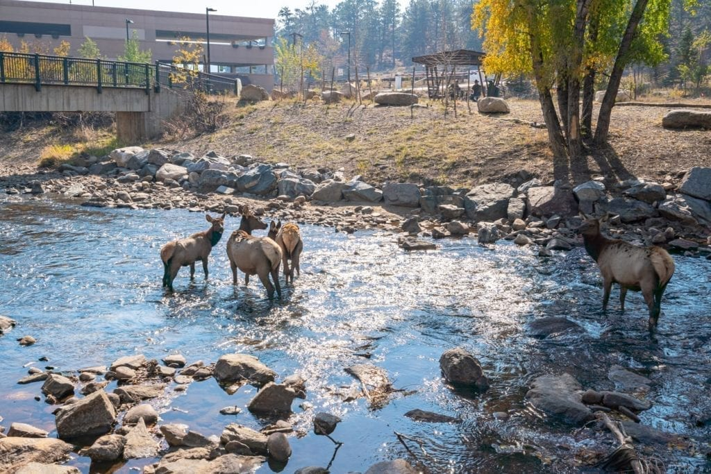 group of elk in the river in front of estes park visitors center. observing wildlife is one of the fun things to do in estes park co