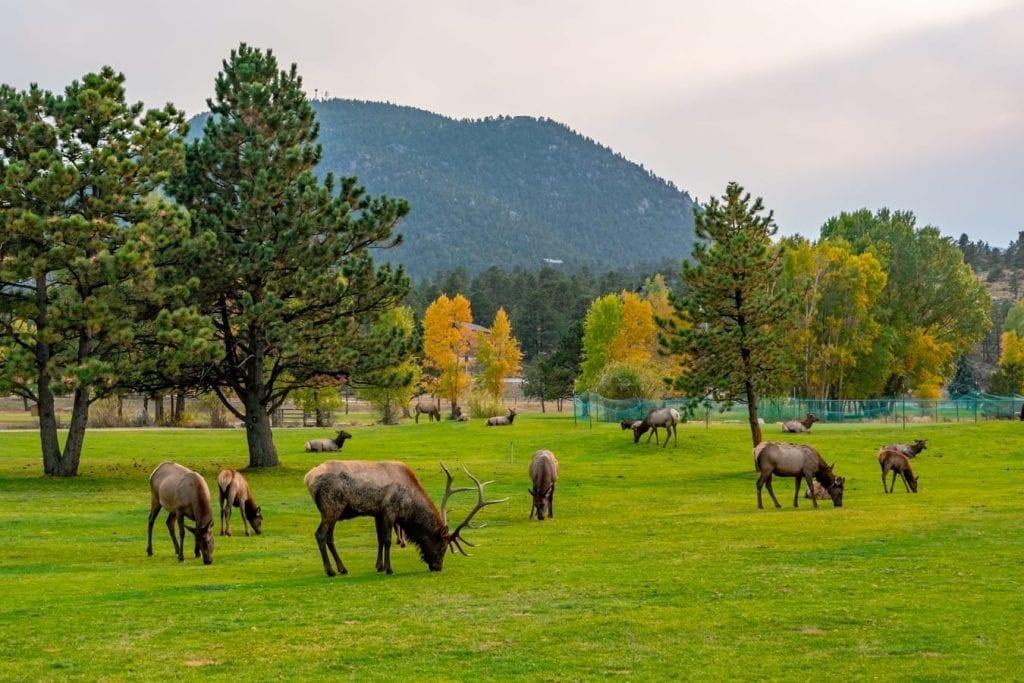 view of a herd of elk in estes park colorado