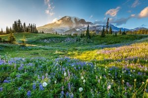 mount rainier national park, one of the most beautiful national parks in the united states, with wildflowers in the foreground and mount rainier in the background