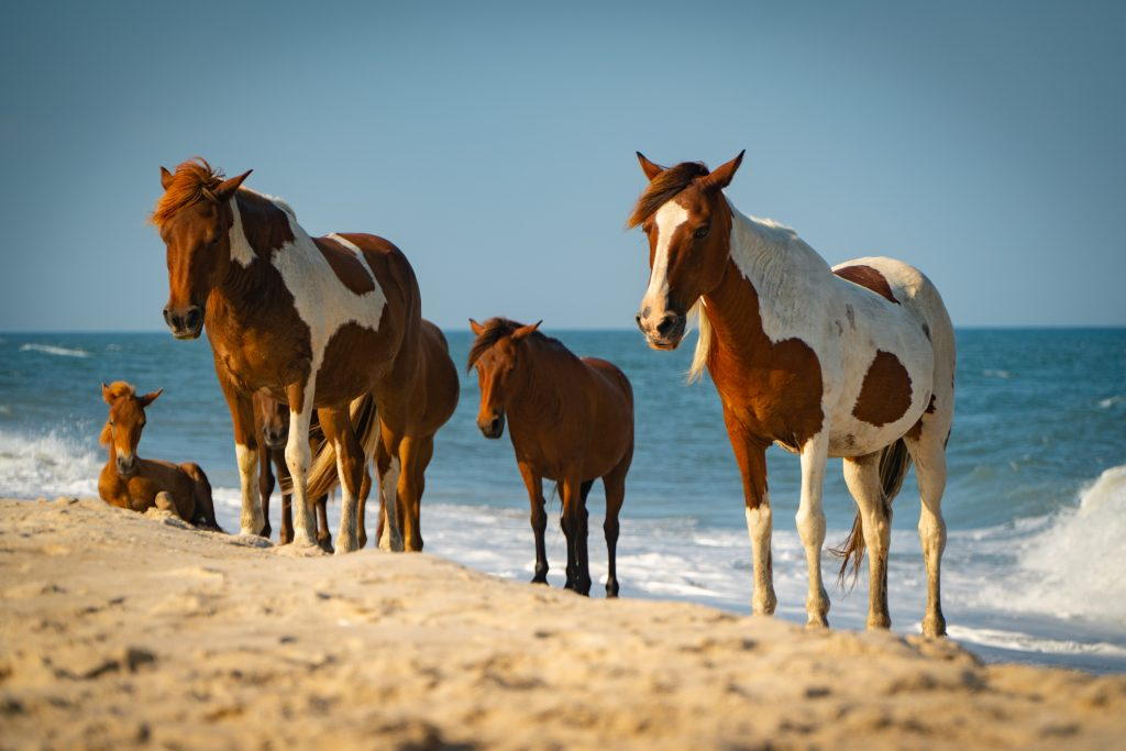 wild horses on the beach of Chincoteague virginia, one of the best usa small towns to visit