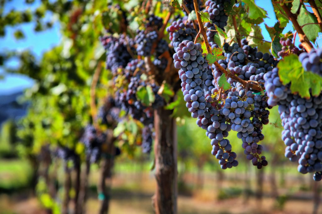 dark purple grapes growing on the vine on a vineyard in sonoma county wine country