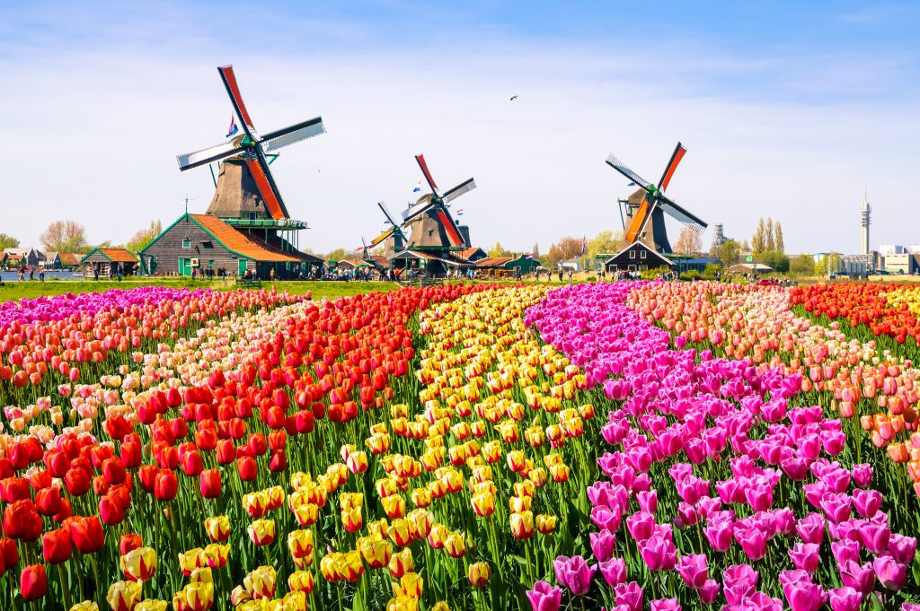 blooming rows of tulips in the netherlands with windmills in the background, a classic european bucket list travel destination