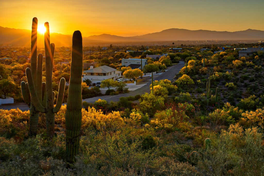 saguaro cacti at sunset in a neighborhood in tucson arizona