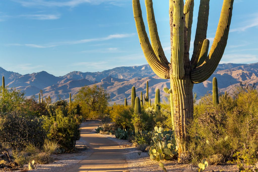 saguaro national park, one of the best places to go in arizona, with a path to the left and large cactus on the right