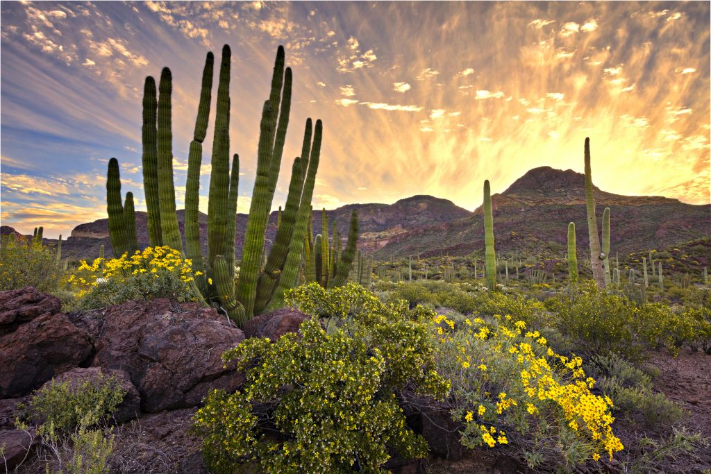 cacti and yellow flowers at sunset in organ pipe national monument, one of the beautiful places in arizona to visit