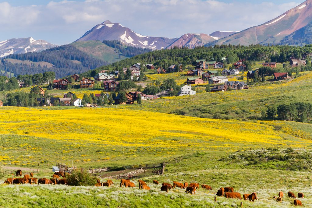 view of yellow wildflowers in colorado mountains with livestock in the foreground and a town in the background