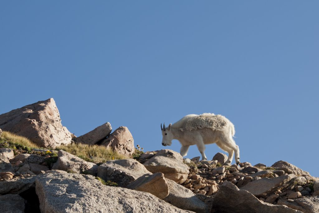 mountain goat on top of mount evans co