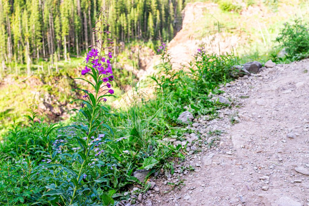 colorado hiking trail with a pink wildflower on the left side of the trail