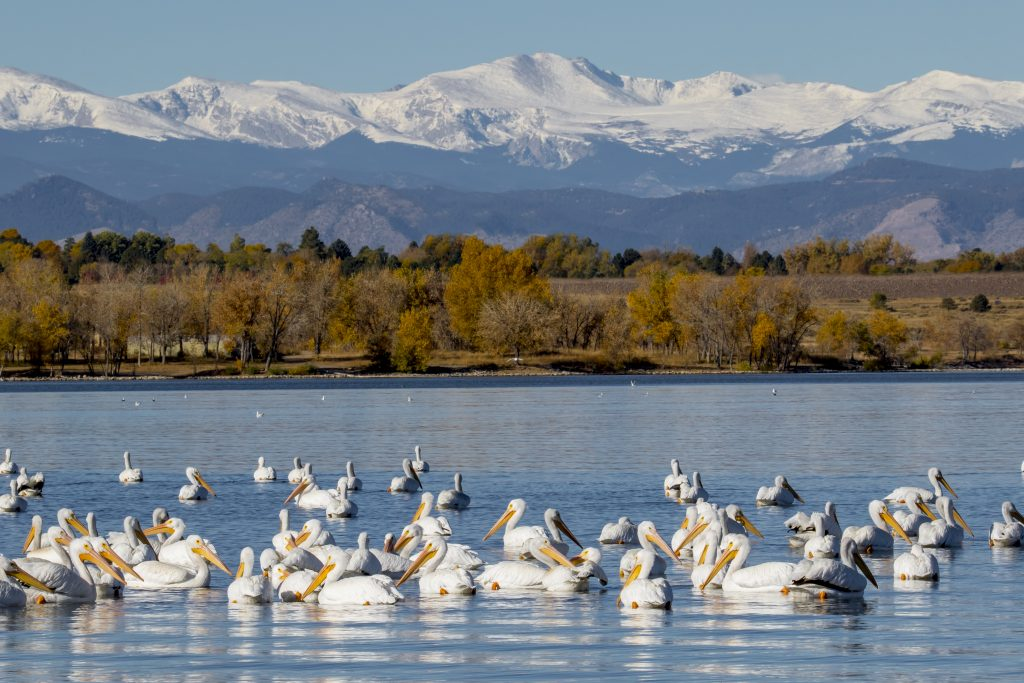white pelicans in cherry creek resevoir with mountains in the background in aurora co