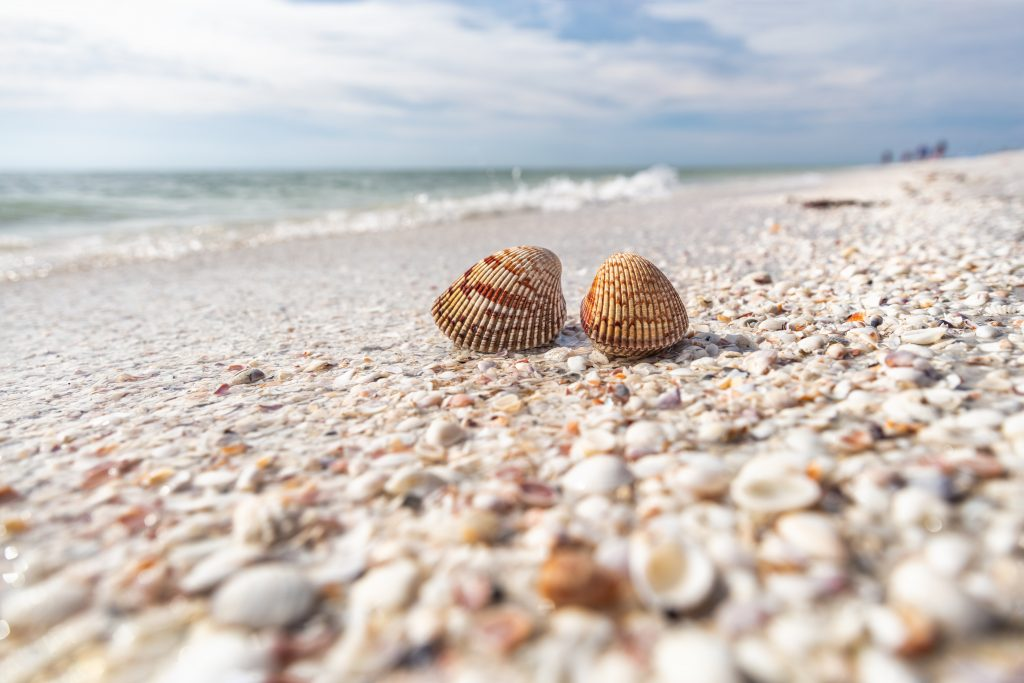 collection of seashells with a focus point on two of them on sanibel island florida beach in november usa