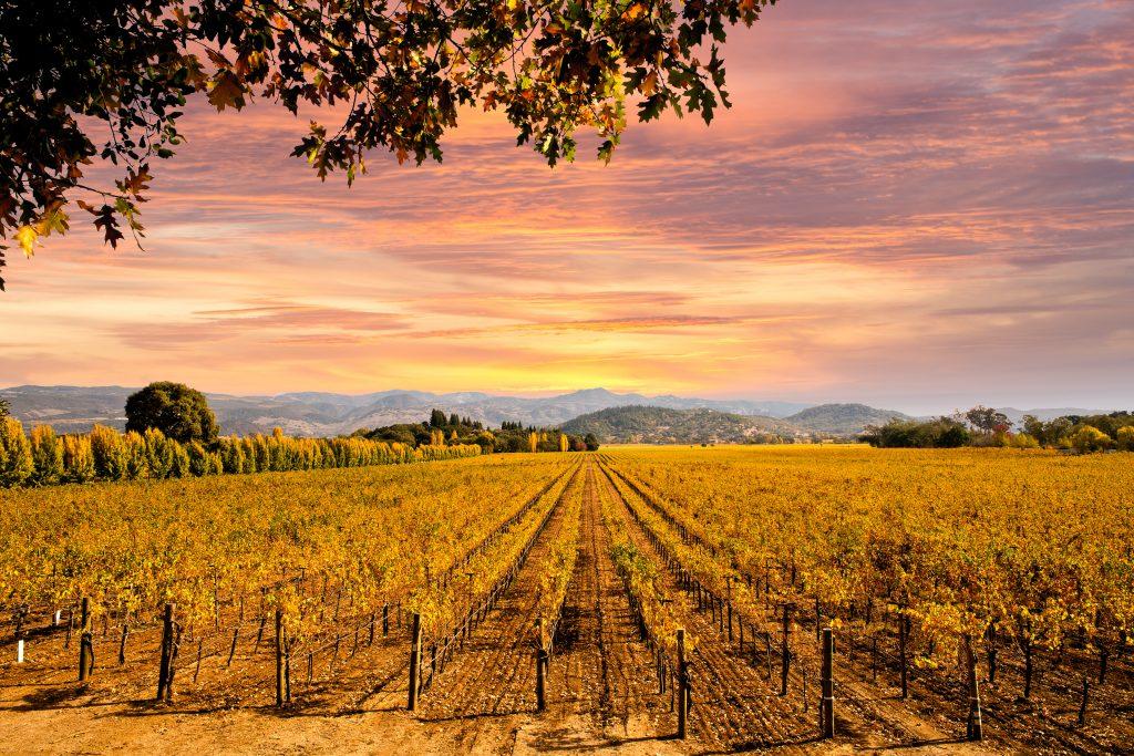 napa valley vineyard at sunset in november usa travel destination